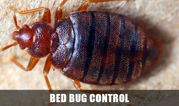 Bed Bug Control, Extermination Tucson AZ